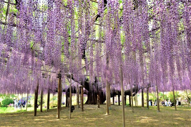 Wisteria May